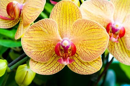 Mon orchidée perd ses fleurs, aidez-moi!!